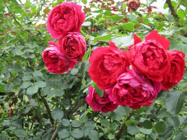 6年生が撮影したバラ,きれいですね。