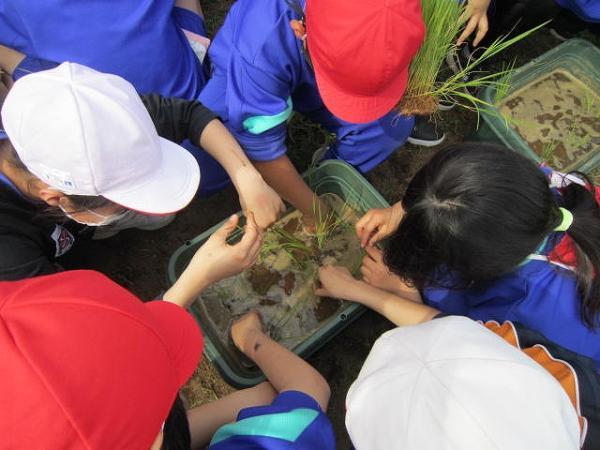 5年生「稲の苗植え」