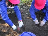 サツマイモを掘りました